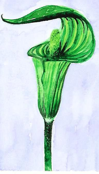 Plants Painting - Jack-in-the-pulpit by Melanie Rochat