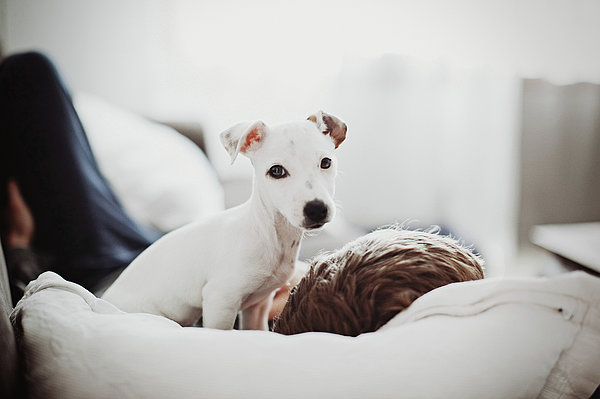 Horizontal Photograph - Jack Russell Terrier Puppy With His Owner by Lifestyle photographer