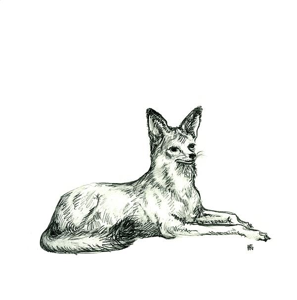 Wild Drawing - Jackal Sketch by Shirley Heyn