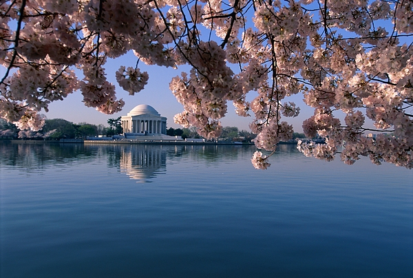 Jefferson Memorial Photograph - Japanese Cherry Blossoms Prunus by Medford Taylor
