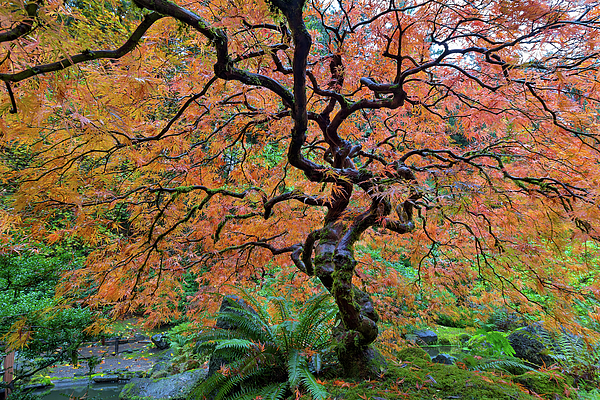 Maple Photograph - Japanese Garden Lace Leaf Maple Tree In Fall by David Gn