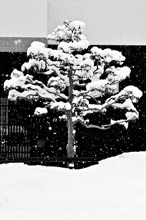 Winter Photograph - Japanese Tree In The Snow by Dean Harte