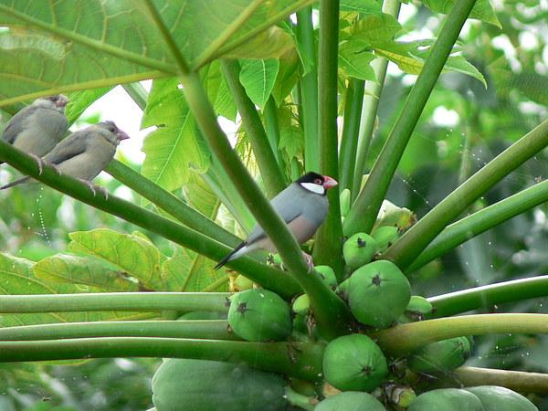 Papaya Tree Photograph - Java Sparrows by Don Lindemann