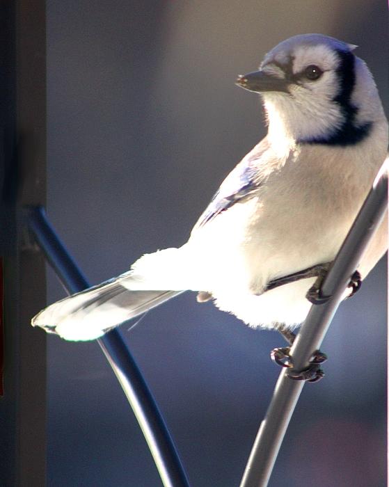 Blue Jay Photograph - Jay Bird by Diane Merkle