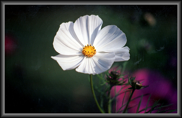 Cosmos Photograph - Just A Cosmos by Russ Mullen