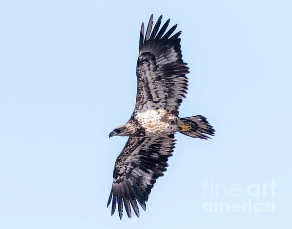 Canon Photograph - Juvenile Bald Eagle 2017 by Ricky L Jones