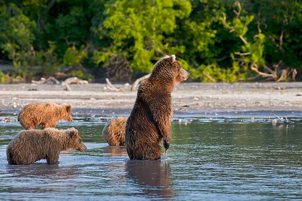 Kamchatka Photograph - Kamchatka Brown Bear by Sergey  Krasnoshchekov
