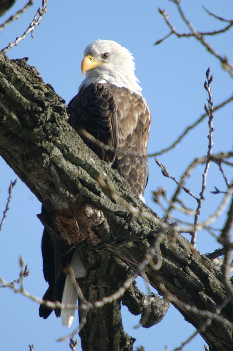 Eagle Photograph - Keeping An Eye On Things by Dave Clark