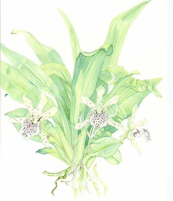 Botanical Orchid Painting - Keffersteinia Tolimensis by Darren James Sturrock