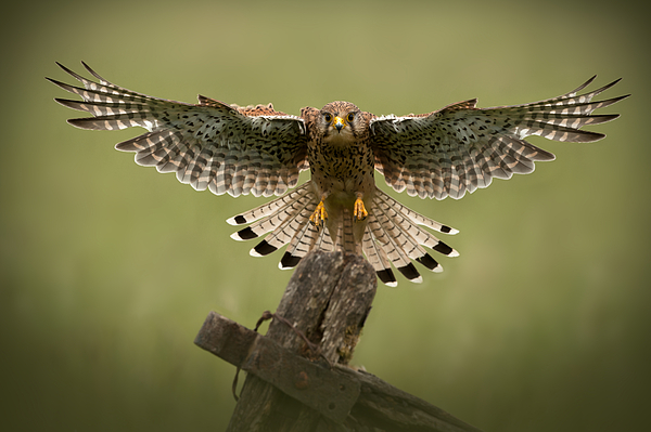 Animal Photograph - Kestrel On Final Approach by Andy Astbury