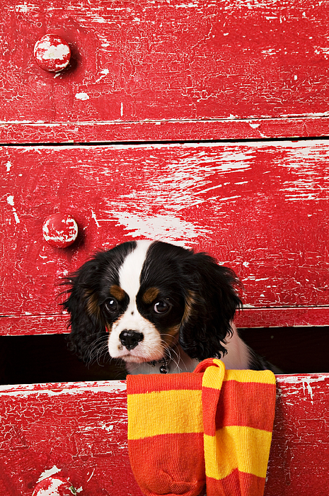 Puppy Photograph - King Charles Cavalier Puppy  by Garry Gay