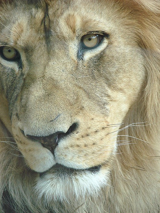 Lion Photograph - King by Margaret Bobb
