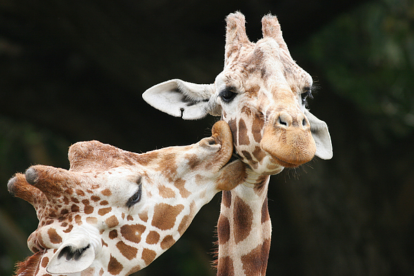 Kiss Photograph - Kissing Giraffes by Buck Forester