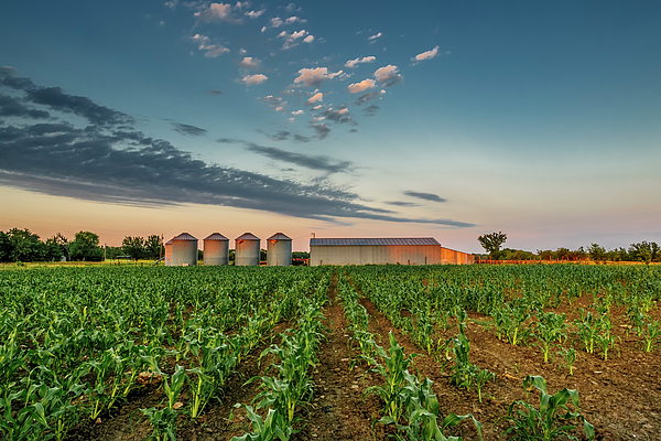 Landscape Photograph - Knee High Sweet Corn by Steven Sparks