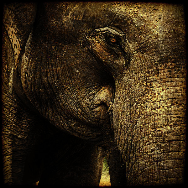 Elephant Photograph - Knowing by Andrew Paranavitana