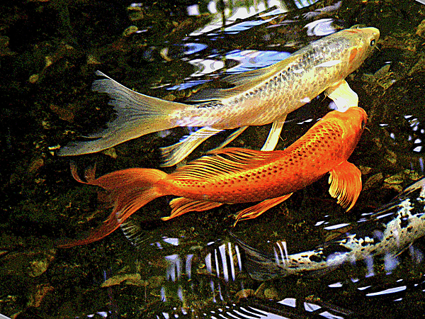 Koi fish swim in synch photograph by margie avellino for Fish swimming backwards