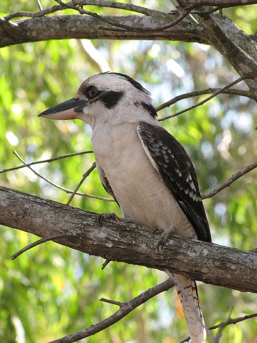 Wildlife Photograph - Kookaburra by Derek Donoghue