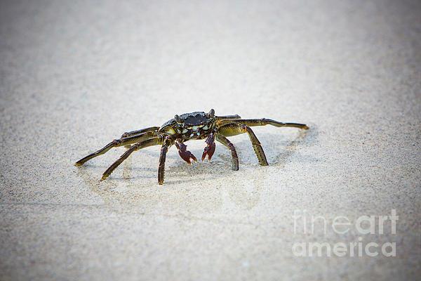Digital Photograph - Kua Bay Crab 1 by Daniel Knighton