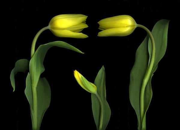 Tulips Photograph - La Famiglia by Christian Slanec