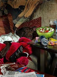 Pets Photograph - Lab Work Series - Couch Potato Lab by Steve Shaluta