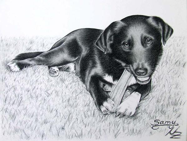 Dog Drawing - Labrador Samy by Nicole Zeug