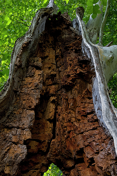 Tree Photograph - Lady Of The Forest by Murray Bloom