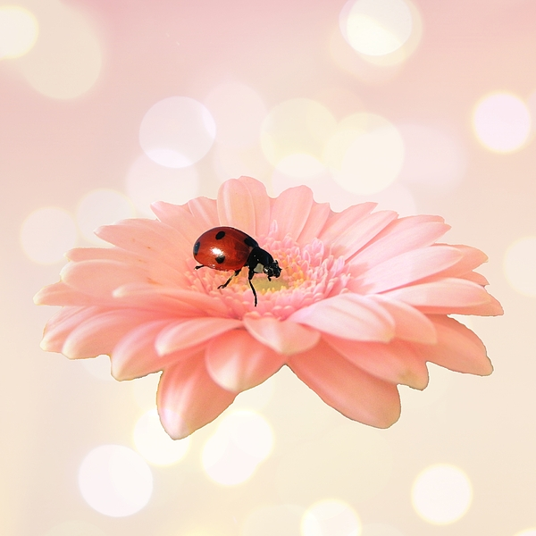 Gerbera Photograph - Lady On Pink by Sharon Lisa Clarke