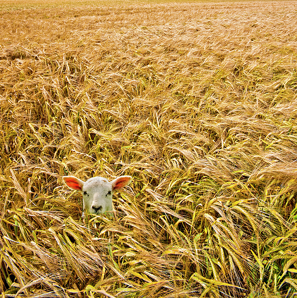 Sheep Photograph - Lamb With Barley by Meirion Matthias