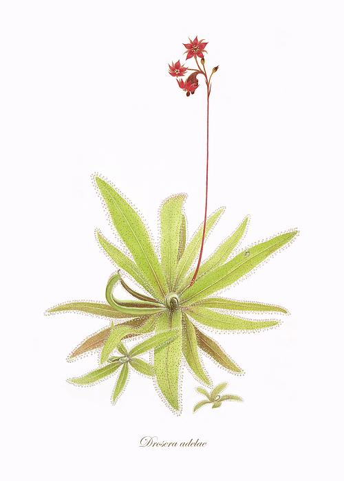 Flowers Painting - Lance Leaved Sundew by Scott Bennett