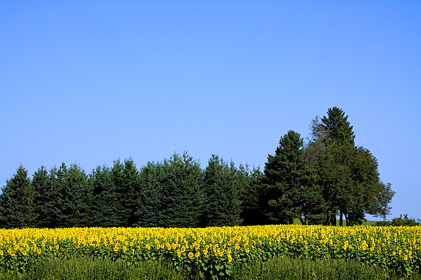 Sunflower Photograph - Land Of Sunflowers by Gary Smith