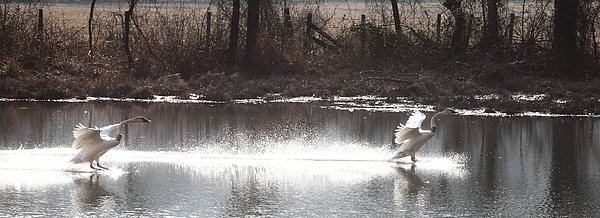 Trumpeter Swans Photograph - Landing Trumpeter Swans by Michael Dougherty