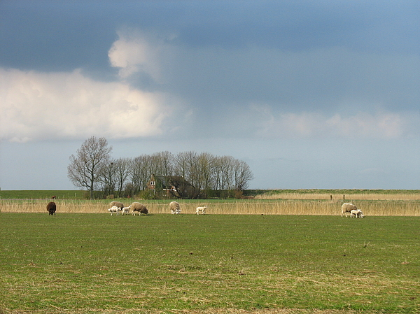 View Photograph - Landscape In Friesland With Sheep by Holland Scenery