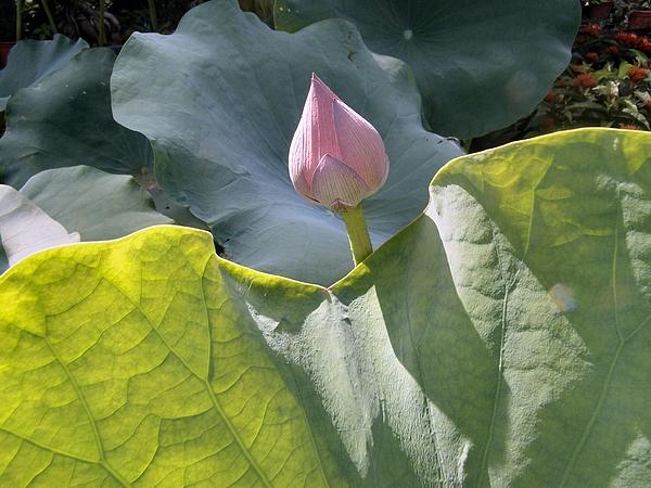 Lotus Photograph - Large Pink Chinese Lotus Bud by Kathy Daxon