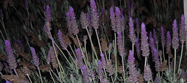 Lavender Photograph - Lavender At Night by Jean Booth