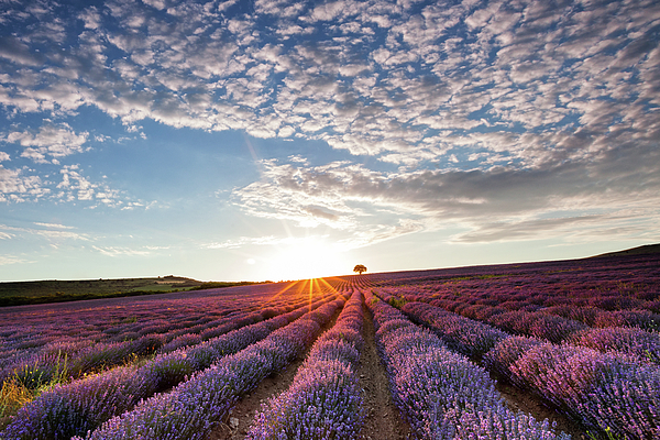 Agriculture Photograph - Lavender by Evgeni Dinev