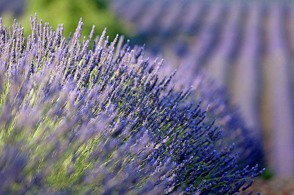 Country Photograph - Lavender Flowers In A Field by Sami Sarkis