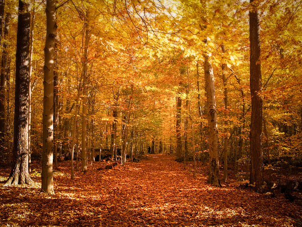 Pathway Photograph - Leaf Covered Pathway In A Golden Forest by Chantal PhotoPix