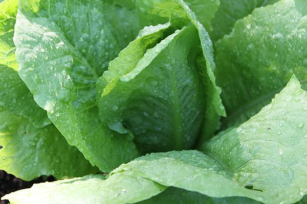 Lettuce Photograph - Leaf Lettuce Part 3 by Lauri Novak
