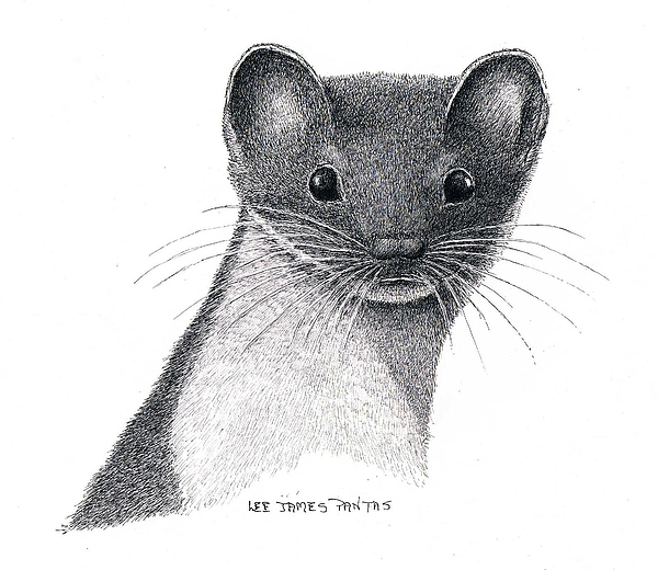 Weasel Drawing - Least Weasel by Lee Pantas