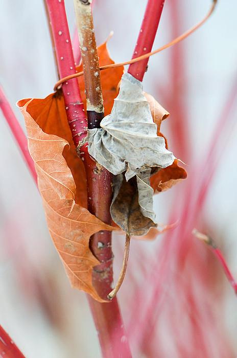 Leaves Photograph - Leaves Embrace by Elisabeth Czwikla