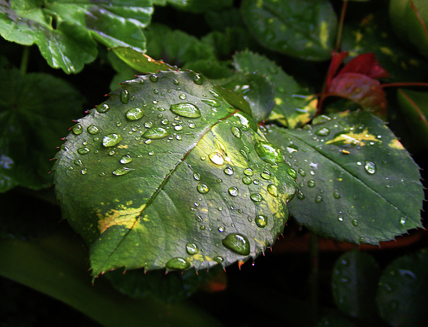Raindrops Photograph - Leaves by Wilma Stout