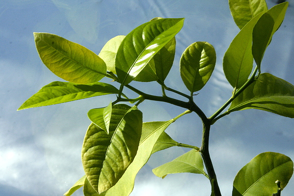 Lemon Tree Photograph - Lemon Tree by Paula Deutz