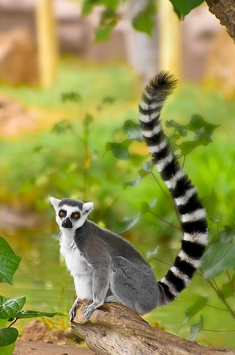 Lemur Photograph - Lemur Lemur by Marvin Rivera