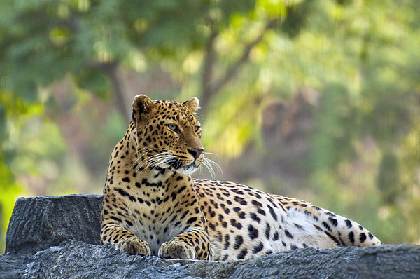 Leopard Photograph - Leo On Rock by Saurabh Agrawal