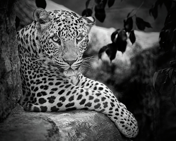 Horizontal Photograph - Leopard by Cesar March