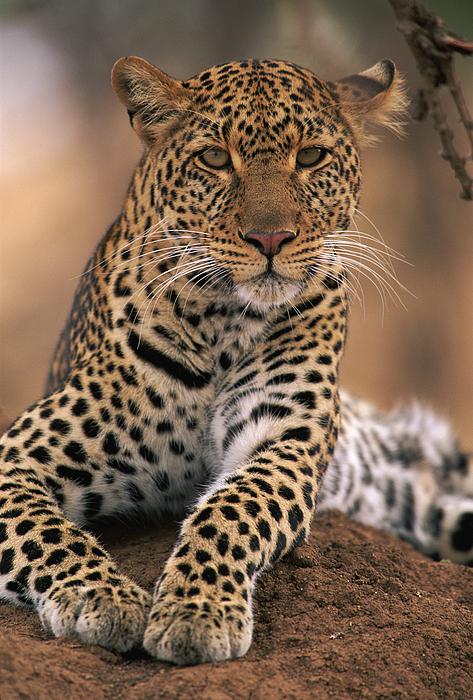 Npl Photograph - Leopard Panthera Pardus, Masai Mara by Anup Shah