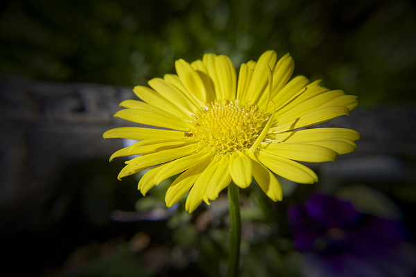 Leopard's Photograph - Leopards Bane by Teresa Mucha