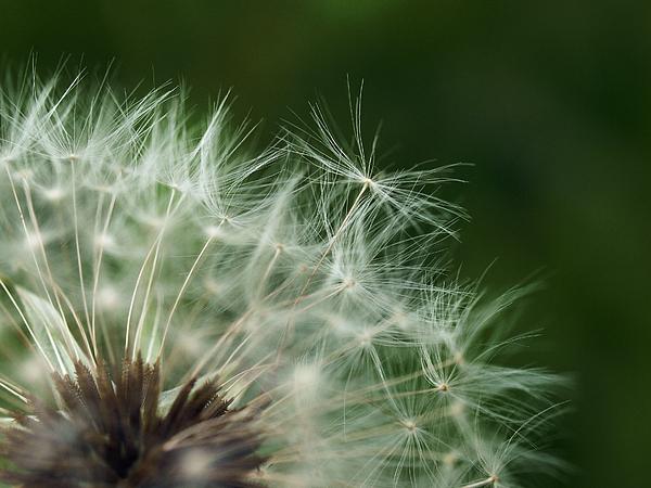 Dandelion Photograph - Lift Off by Stan Wojtaszek