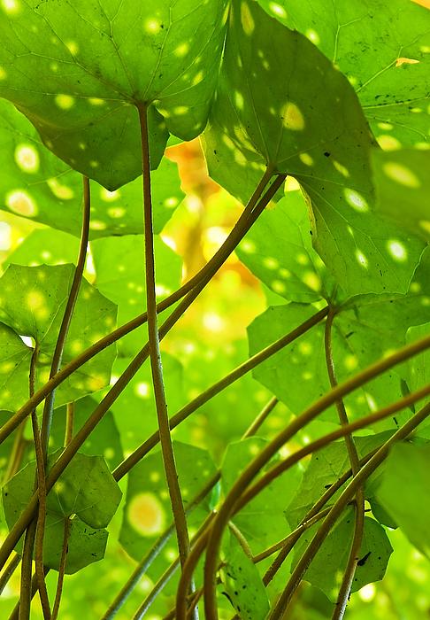 Abstract Photograph - Ligularia Tussilaginea by Carlos Caetano