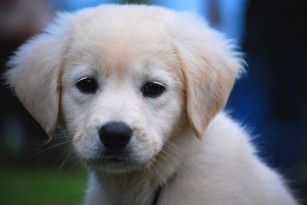 Puppy Photograph - Lil Pup by Robert Goulet